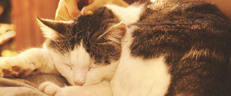 Adopter et accueillir un chat adulte